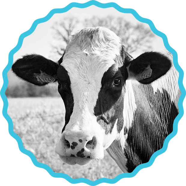 vache bio